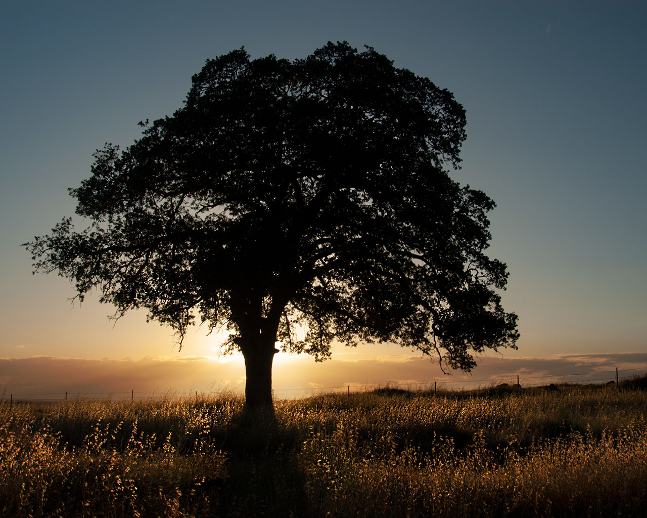 An oak tree in front of a sunset